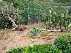 Uprooted trees in Okinawa