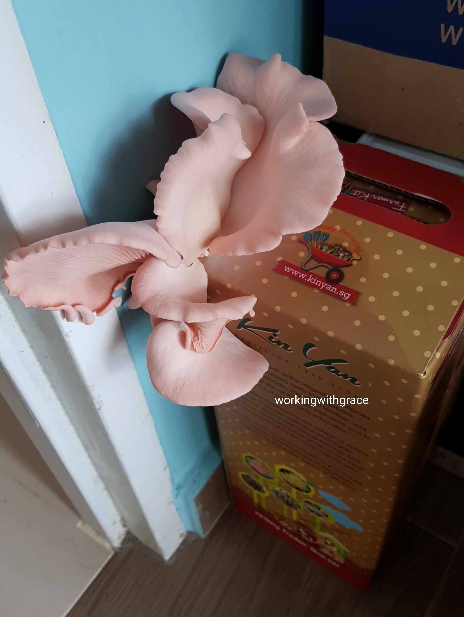kin yan pink mushroom growing kit
